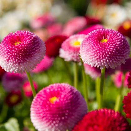 Sedmikráska pomponková růžová - Bellis perennis - semena - 0,1 g