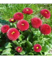 Sedmikráska pomponková červená - Bellis perennis - semena sedmikrásky - 0,1 g