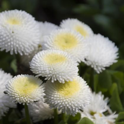 Sedmikráska pomponková bílá - Bellis perennis - semena - 0,1 g