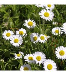 Sedmikráska jednoduchá bílá - Bellis perennis - semena - 0,1 g
