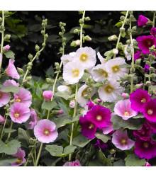 Topolovka Simplex směs - Alcea rosea - semena - 25 ks