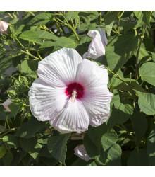 Ibišek bahenní Mallow Rose - Hibiscus moscheutos - semena - 5 ks