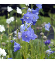 Zvonek broskvolistý modrý - Campanula persicifolia - semena - 0,1 g