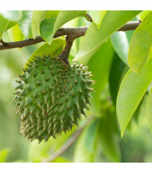 Anona ostnitá - Graviola - Annona muricata - semena - 4 ks