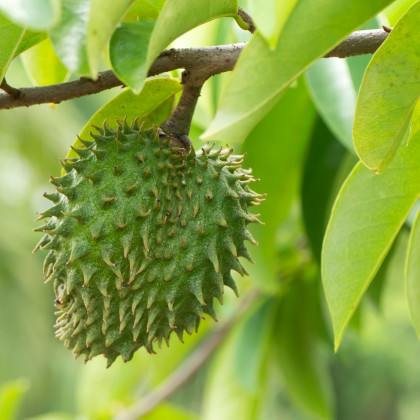 Anona ostnitá - Graviola - Annona muricata - semena anony - 4 ks