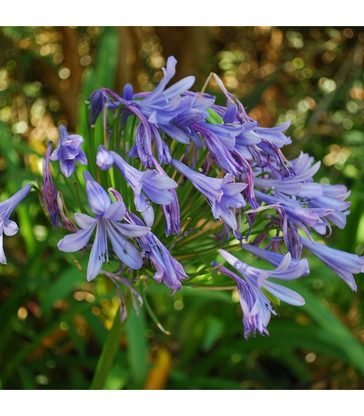 Kalokvět modrý - Agapanthus praecox - semena - 8 ks
