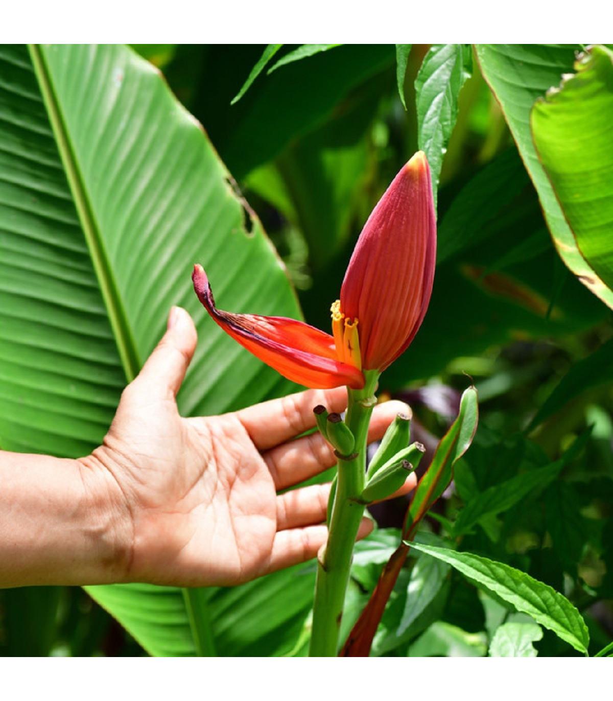 Banánovník zakrslý - Musa Velutina - semena - 3 ks