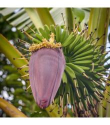 Banánovník Dwarf Cavendish - Musa Acuminata - semena - 5 ks