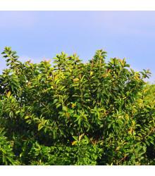 Fíkovník indický - Ficus benghalensis - semena - 5 ks