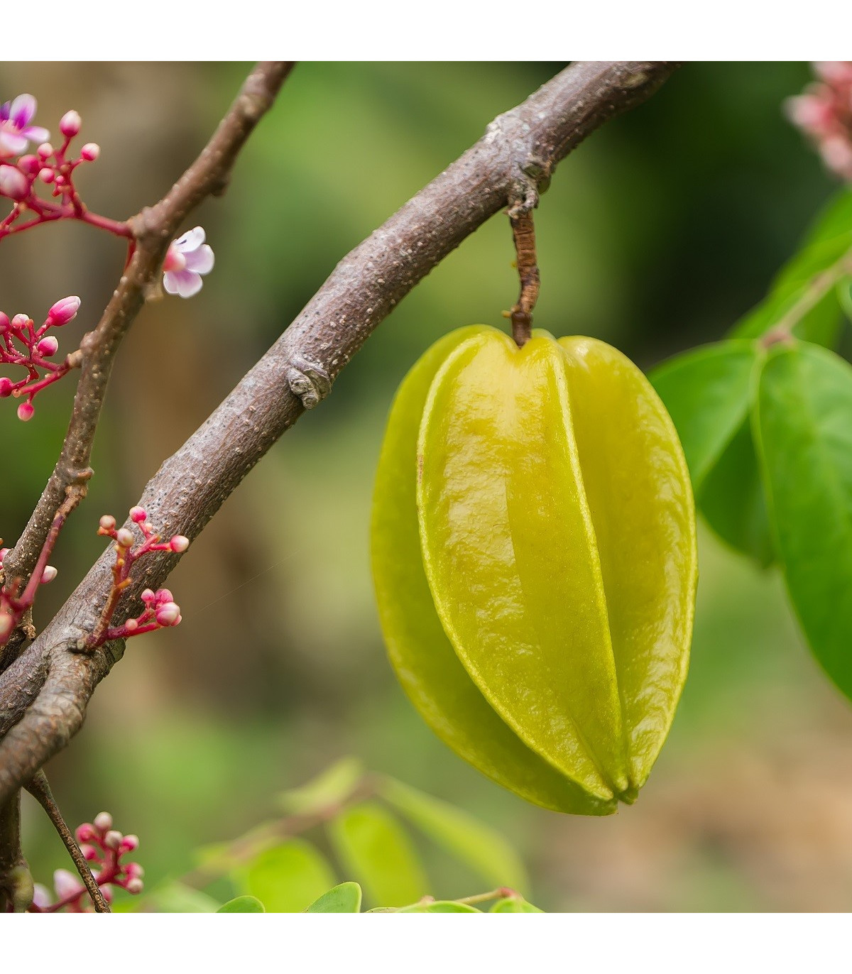 Čínská hvězdice - Averrhoa carambola - semena - 5 ks