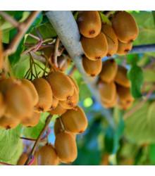 Kiwi čínské - Actinidia chinensis - semena - 5 ks