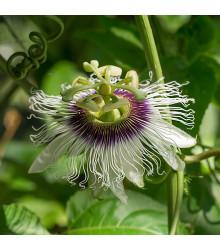 Mučenka jedlá - Passiflora edulus - semena - 5 ks