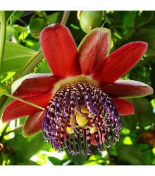 Mučenka čtyřhraná - Passiflora quadrangularis - semena - 4 ks