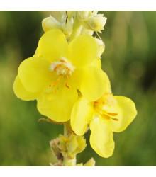 Divizna velkokvětá - Verbascum densiflorum - semena - 300 ks