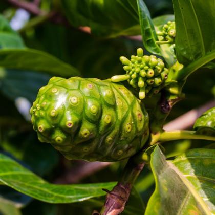 Noni - Morinda citrifolia - semena - 5 ks