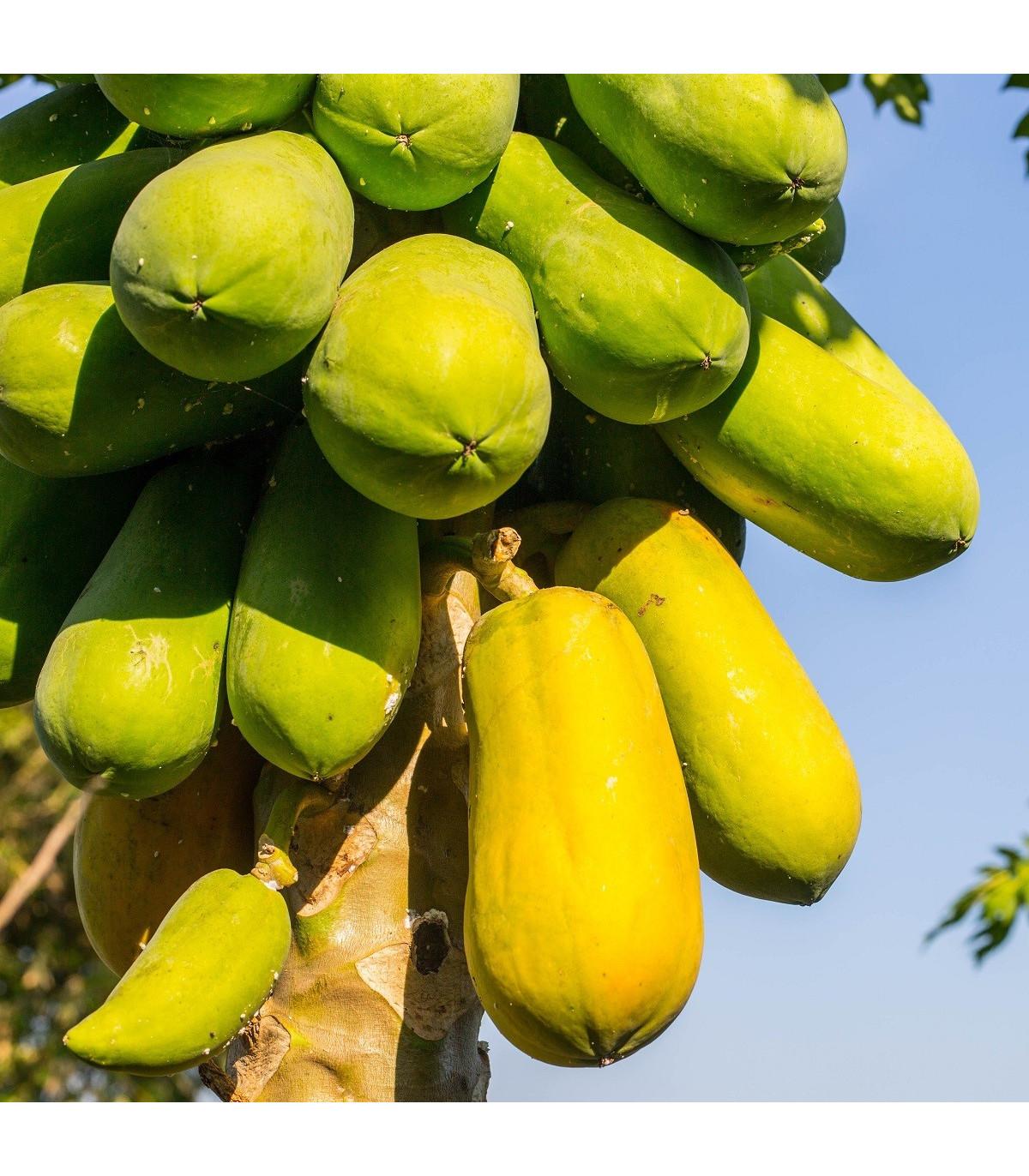 Papaya melounová - Carica Papaya - semena - 4 ks