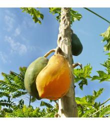 Papaya Mamba Nunba - Carica papaya - semena papayi - 4 ks