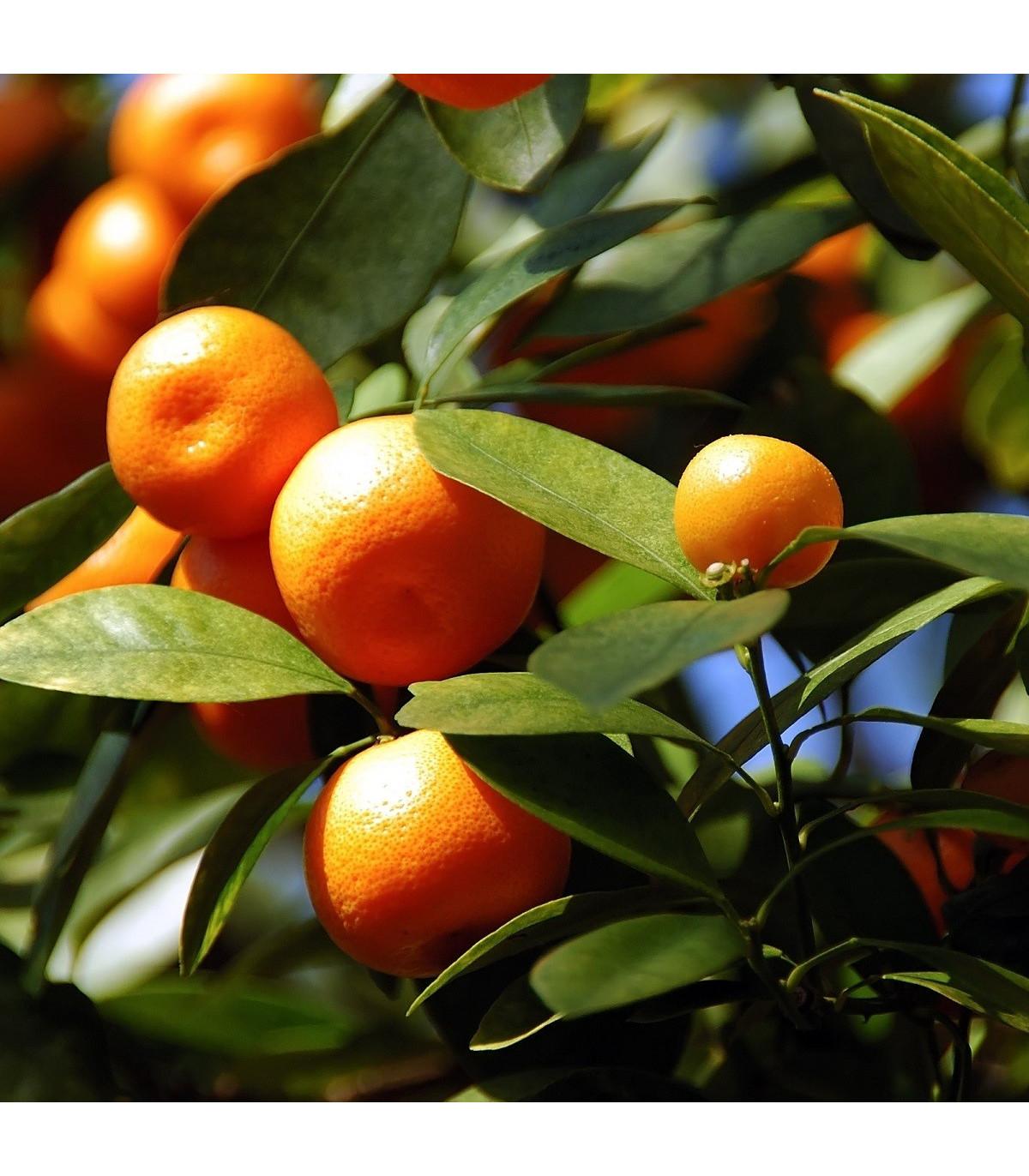 Pomerančovník zakrslý - Citrus mitis - semena pomerančovníku - 3 ks