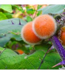 Chlupatý pomeranč - Solanum quitoense - semena - 5 ks