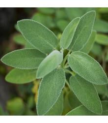 Šalvěj lékařská - Salvia officinalis - semena - 20 ks