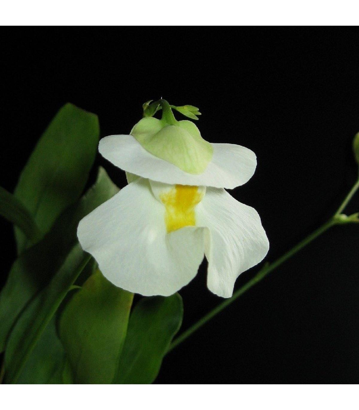 Bublinatka - Utricularia alpina - semena - 15 ks