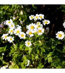 Řimbaba obecná - Chrysanthemum parthenium - semena - 15 ks