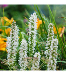 Šuškarda klasnatá Floristan White - Liatris spicata - semena - 20 ks