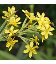 Badil žlutý - Sisyrinchium californicum - semena - 10 ks