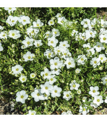 Písečnice horská - Arenaria montana - semena - 20 ks
