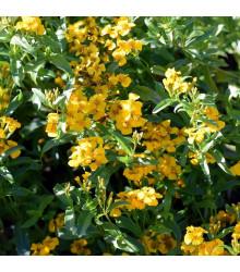 Aksamitník mexický - Tagetes lucida - semena - 0,2 g