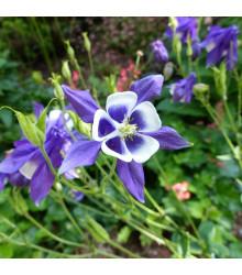 Orlíček obecný Blue Star - Aquilegia vulgaris - semena - 30 ks