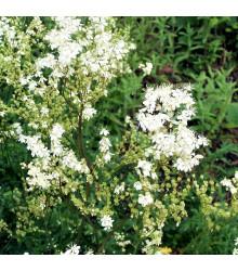 Tužebník obecný - Filipendula vulgaris - semena - 0,3 g