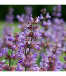 BIO Šalvěj lékařská - Salvia officinalis - bio semena - 30 ks