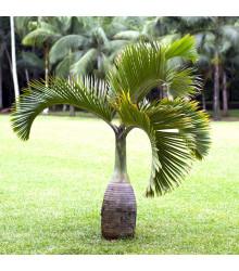 Palma lahvová - Hyophorbe lagenicaulis - semena - 3 ks