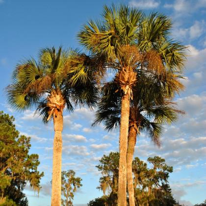Palma - Washingtonia robusta - semena - 3 ks