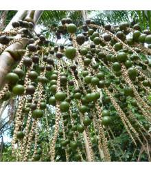 Palma Acai - Euterpe oleracea - semena - 2 ks