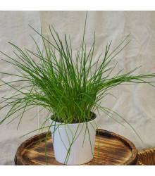 Pažitka pražská - Allium schoenoprasum L. - semena - 750  ks
