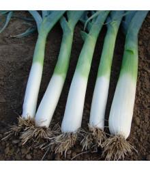 Pór pravý Golem - Allium porrum – semena - 200 ks