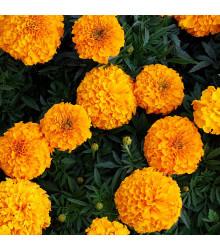Aksamitník vzpřímený Sunset - Tagetes erecta - semena - 100 ks