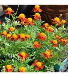 Aksamitník rozkladitý Orange flame - Tagetes patula nana - semena - 100 ks