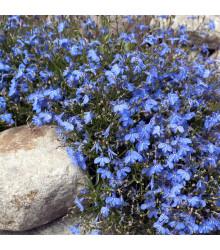 Lobelka drobná Kaiser - Lobelia erinus compacta - semena - 0,1 g