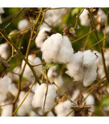 Bavlník bylinný - Gossypium herbaceum - semena - 6 ks