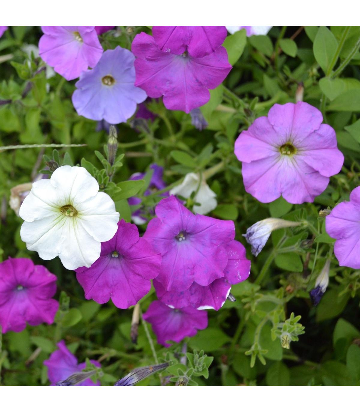 Petúnie velkokvětá nízká - Petunia hybrida nana - semena - 0,1 g