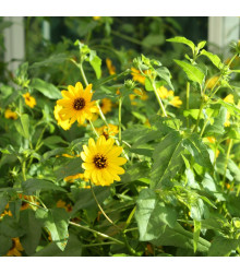 Slunečnice slabá směs - Helianthus debilis mix - semena - 7 ks