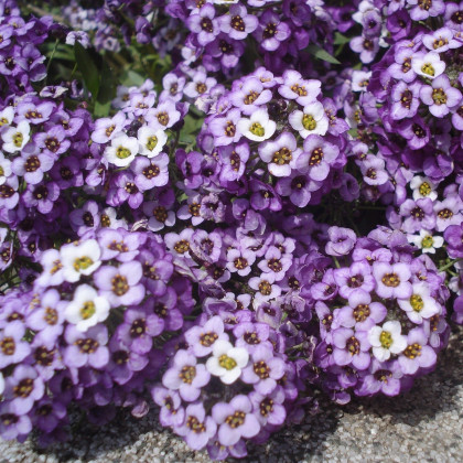 Tařicovka přímořská Fialová královna - Alyssum maritimum - semena - 1 g