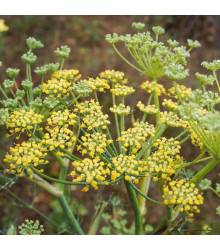 BIO fenykl kořeninový - Foeniculum ssp. - bio semena - 0,3 g
