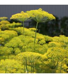 BIO Kopr vonný Diana - Anethum graveolens - bio semena - 300 ks