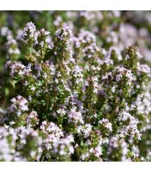 BIO Tymián - Thymus vulgaris - bio semena - 0,3 g