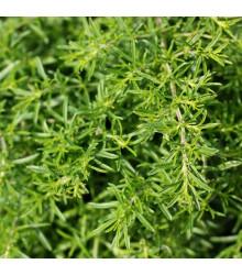 BIO Saturejka zahradní - Satureja hortensis - bio semena - 1 g