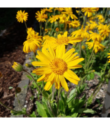 Arnika horská – Arnica montana – semena – 13 ks
